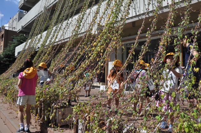 明後日朝顔プロジェクト2011 千代田 収穫祭へのお誘い