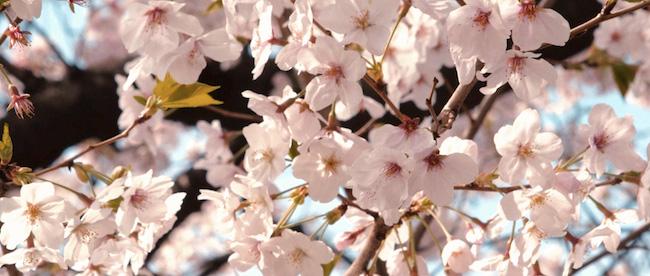Sakura: An Archetypal Journey, A Film By Anne Fehres